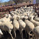 Australian White Flock at RegalStud