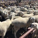 flock rams at Regalstud